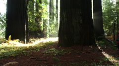 SLIDER SHOT OF WOMAN WALKING ON TRAIL IN FRONT OF HUGE TREES Stock Footage