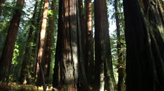 REDWOOD TREES SLIDER SHOT WITH BEAUTIFUL SUNLIGHT MAGICAL Stock Footage