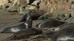 ELEPHANT SEAL BARKING WHILE OTHERS LAY ON BEACH Stock Footage