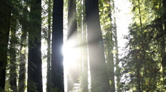 LIGHT RAYS SHINING THROUGH TALL TREE FOREST WITH RAINDROPS Stock Footage
