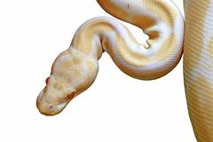 albino reticulated python (python reticulatus) isolated on white - stock photo