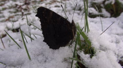 Peacock butterfly crawling on snowy grass Stock Footage