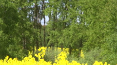Rape seed field flowering by the forest Stock Footage