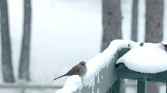 Dark-eyed Junco in the Snow Stock Footage