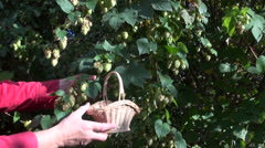 Man picking Humulus lupulus in wicker basket Stock Footage