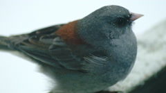Dark-eyed Junco Close up Stock Footage
