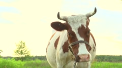 Cow grazing on pasture Stock Footage