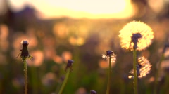 Dandelion field closeup over sunset background Stock Footage