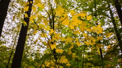 Autumnal yellow maple leaves on branch Stock Footage