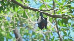 Flying fox resting Stock Footage