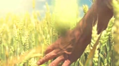 Man's hand touching wheat ears closeup. Harvesting Stock Footage