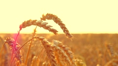 Wheat field in sunset. Ears of wheat closeup. Harvesting concept - stock footage