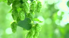 Hop plant close up growing on a Hop farm. Stock Footage