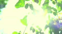 Beautiful Sun shine through the blowing on wind tree green leaves. Stock Footage