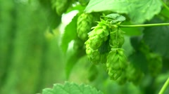 Fresh and Ripe Hops ready for harvesting. Beer production ingredient. Stock Footage
