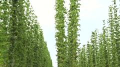 Hop field plant growing on a Hop farm, plantation of hop. Stock Footage