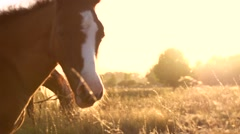 Beautiful Horses grazing. Horse grazing outdoors over sunset. Stock Footage