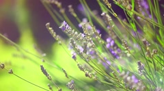 Lavender. Growing Lavender Flower closeup. Field Stock Footage