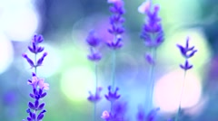 Lavender. Growing Lavender Flower closeup. Stock Footage