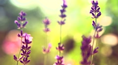 Field of blooming violet lavender flowers close up. Stock Footage