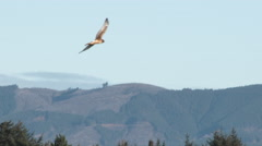 Northern Harrier Hawk Hunting For Prey Stock Footage