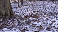 A pair of giant whitetail deer buck antler sheds  - stock footage
