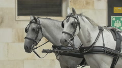 White horses at a carriage in Stephansplatz, Vienna Stock Footage