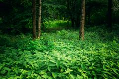 Summer Green Deciduous Forest Trees with Nettles - stock photo