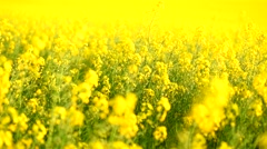 Blooming canola field. Rape on the field in summer. Stock Footage