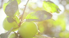 Autumn Fresh Apple on Tree with Sun Flare. Close-up view. Stock Footage