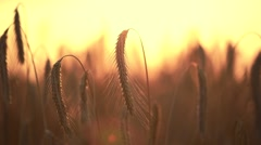 Wheat field in sunset. Harvest and harvesting concept. Stock Footage