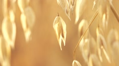 Oat field in sunset. Harvest and harvesting concept. Stock Footage