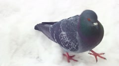 Pigeon walking on the snow cold winter Stock Footage