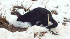 Beautiful cat in snow eating Stock Footage