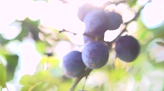 Ripe Plums on branch. Growing Plum in orchard. Stock Footage