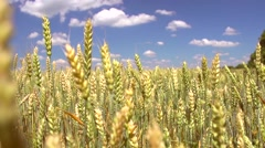 Wheat field. Harvest and harvesting concept. Stock Footage