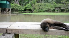 Woolly Monkey Relaxing Stock Footage