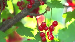 Ripe and Fresh Organic Red Currant Berries Growing in the Garden. Stock Footage