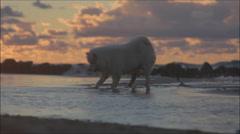 Samoyed (dog) playing on the beach Stock Footage