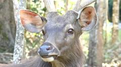 Sambar Deer Stock Footage