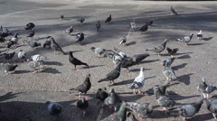 Many pigeons look for bread crumbs Stock Footage