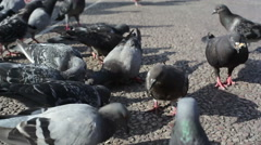 Pigeons look for food, close up, shallow DOF Stock Footage