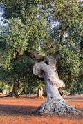 Olive tree in apulia countryside (Italy) Stock Photos