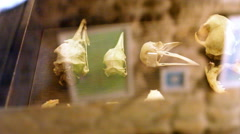 Bird skull skeleton behind glass, museum exhibition, close up, shallow DOF Stock Footage