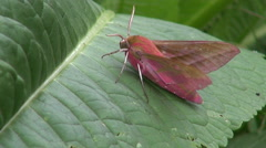 Deilephila porcellus waving its wings while perched on leaf Stock Footage