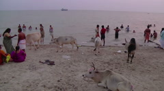 Pan WS of cows and people on a beach in Rameswaram, India Stock Footage