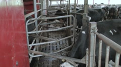 Cow entering a mechanized milking equipment in the milking hall - stock footage