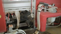 Cow in a mechanized milking equipment in the milking hall - stock footage