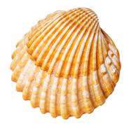 clam mollusc shell isolated on white - stock photo