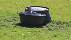 Domestic goose in a basin of water on the farmyard Stock Footage